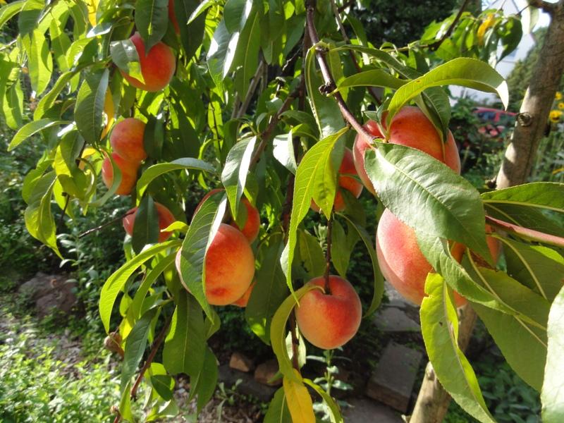 Naturkissen mein garten 2009 - Pfirsichbaum im garten ...
